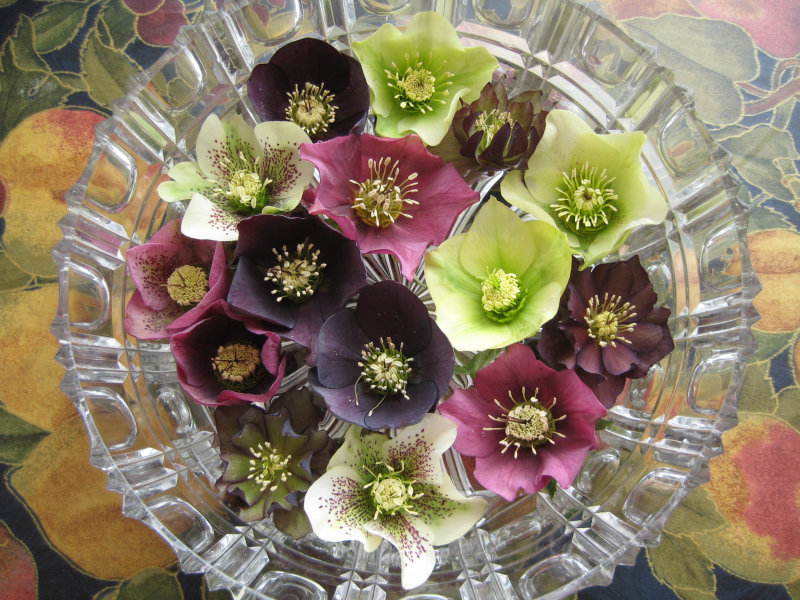 Hellebores-floating_01